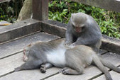 Interaction of two monkeys grooming — Stock Photo
