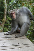 Formosan Rock Macaque — Stock Photo