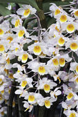 The flowers of Dendrobium thyrsiflorum — Stock Photo