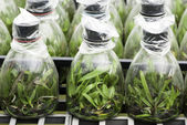 Orchid tissue culture — Stock Photo