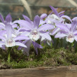 Foto Stock: Lilorchid like flowers in wooden planter