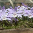 Stockfoto: Lilorchid like flowers in wooden planter