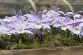 Lila orchid like flowers in a wooden planter — Stock Photo