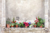 Flower pots on an ancient wall in Tuscany — Stock Photo