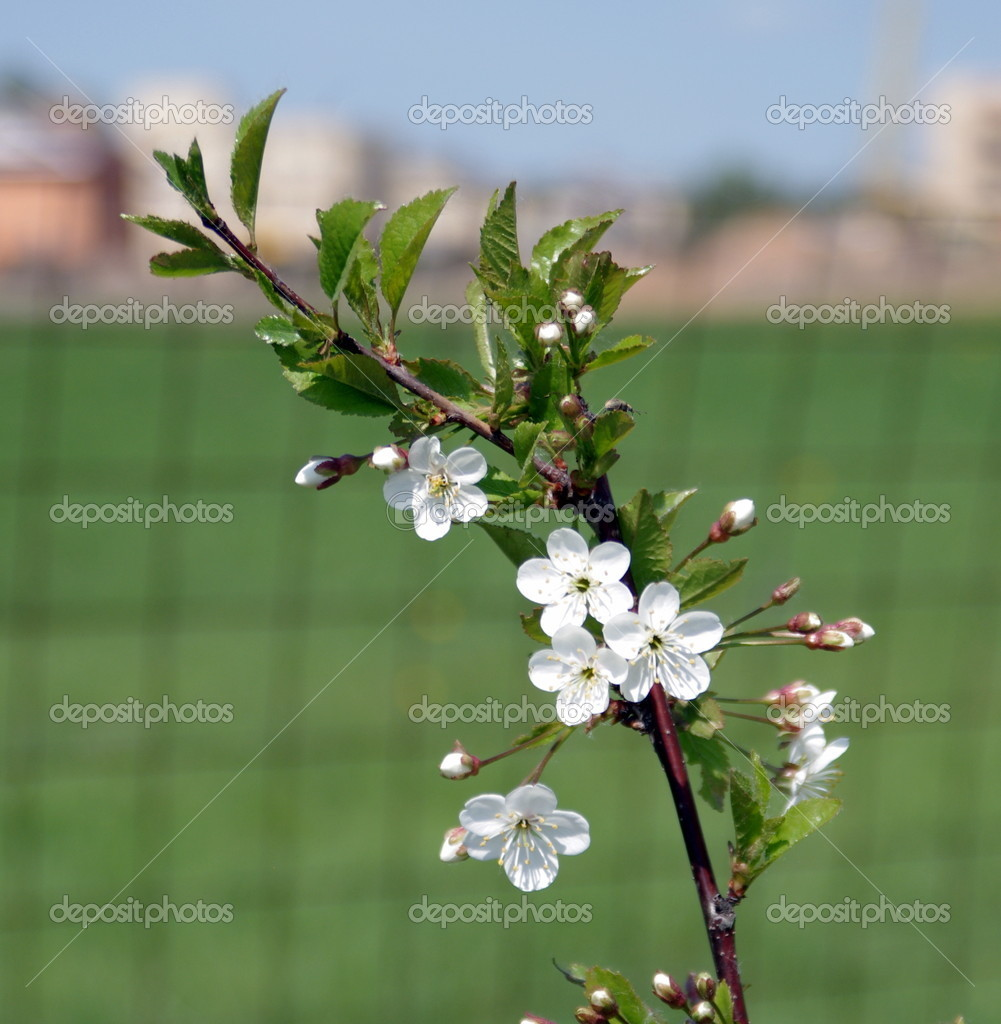 Nature, flowers, cherry — Stock Photo #10078334