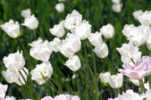 It is a lot of white tulips — Stock Photo