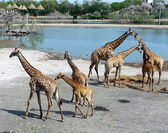 Giraffes in a safari park-1 — Stock Photo