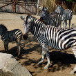 Family of zebras — Stock Photo #9853088