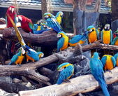 Parrots of the macaw — Stock Photo
