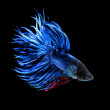 Betta pet fish, Siamese fighting fish isolated on black background - Stock Photo