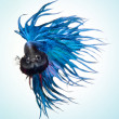Stock Photo: Bettpet fish, Siamese fighting fish