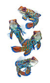 Marine fish, reef fish, mandarin dragonet isolated on white background — Stock Photo