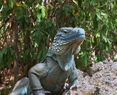 Blue Iguana Endangered Species — Stock Photo