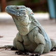 CaymIslands Blue Iguana — Stock Photo #9762359