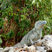 Blue Iguana Cayman Islands — Stock Photo