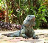 Blue Iguana — Stock Photo