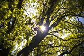 Sun shining through oak — Stock Photo