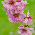 Paradise apple flower — Stock Photo