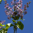 图库照片: Lilac against dark blue sky