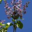 Stock Photo: Lilac against dark blue sky