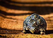 Tortoise Walking Away — Stock Photo