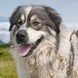 Sheep dog on mountain pasture — Stock Photo