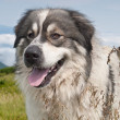 Stock Photo: Sheep dog on mountain pasture