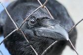 Schwarze raben blick durch das gitter — Stockfoto