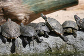 Group of red-eared slider turtles in the zoo — Stock Photo