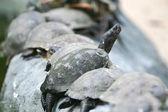 Groep van rood-eared schuifregelaar schildpadden — Stockfoto