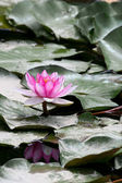 Mor su lilly gölet — Stok fotoğraf