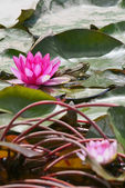 Grenouille et purple water lilly — Photo