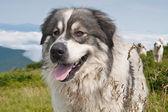 Sheep dog on mountain pasture — Stock Photo
