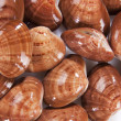 Clams mollusk — Stock Photo #9821931