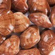 Stock Photo: Clams mollusk