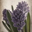Bouquet violet hyacinth — Stock Photo