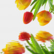 Fresh elegant tulips with water reflection — Stock Photo