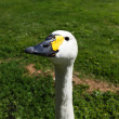 Stock Photo: Goose head