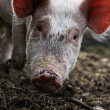 Cute pig — Stock Photo #10473316