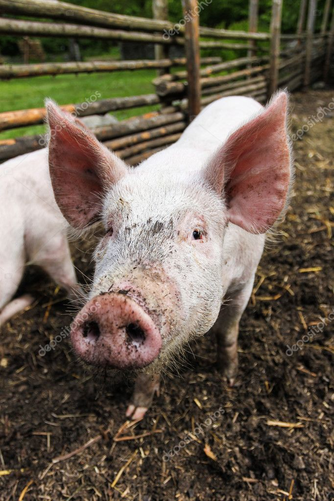 Cute pig on the farm — Stock Photo #10473254
