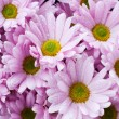 Pink chrysanthemum — Photo