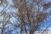 Birch on background blue sky — Stock Photo