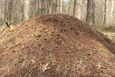 Anthill in spring wood close-up — Stock Photo