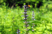Sage and bee — Stock Photo