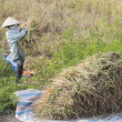 Stock Photo: Rice Harvest