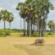 Ox Cart by Rice Field — Stock Photo