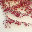 Autumn virginia creeper on a wall - Stock Photo