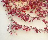 Autumn virginia creeper on a wall — Stock Photo