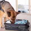Stock Photo: Sniffing dog at airport