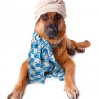 ������, ������: German shephard dog wearing hat and scarf